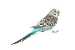 Pássaro azul do Parakeet de Budgie Fotografia de Stock Royalty Free