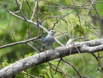 Pássaro azul do Tanager em Costa Rica na selva Fotos de Stock Royalty Free