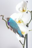 Pássaro azul e roxo na orquídea branca foto de stock