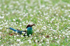 pássaro Azul-throated do Bee-eater Imagem de Stock Royalty Free
