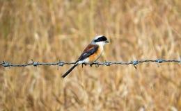 pássaro Baía-suportado do picanço, sentando-se em Barb Wire fotos de stock