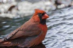 Pássaro - banho cardinal Imagem de Stock