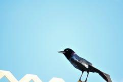 Pássaro Barco-atado homem de Grackle que canta na cerca Imagens de Stock Royalty Free