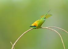 Pássaro (Bee-eater verde), Tailândia Imagens de Stock