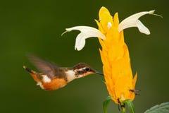 Pássaro bonito com flor Cena de alimentação com pássaro Colibri na mosca Colibri pequeno de voo Woodstar Roxo-throated com cl Foto de Stock