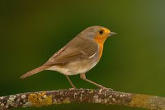 Pássaro bonito com uma plumagem agradável do vermelho alaranjado Imagem de Stock Royalty Free