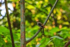 Pássaro bonito de Broadbill da prata-breasted em um ramo Imagens de Stock