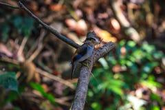 Pássaro bonito de Broadbill da prata-breasted em um ramo Fotografia de Stock
