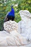 Pássaro bonito do pavão no parque fotos de stock