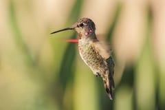 Pássaro bonito do zumbido Foto de Stock