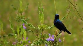 Pássaro bonito do zumbido de Sri Lanka imagens de stock royalty free