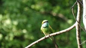 Pássaro bonito em Sri Lanka Foto de Stock Royalty Free