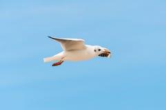 Pássaro bonito, gaivota branca, gaivota no voo imagem de stock royalty free