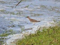 Pássaro bonito no campo de inundação, Lituânia imagens de stock royalty free