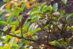 Pássaro bonito O fantail & o x28 amarelo-inchados; Hypoxantha& x29 de Chelidorhynx; no parque nacional do inthanon do doi, Chiang Foto de Stock Royalty Free