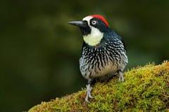 Pássaro bonito que senta-se no ramo verde do mosse no habitat pássaro na natureza, Costa Rica Birdwatching em América Pica-pau de fotografia de stock royalty free