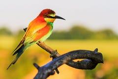 Pássaro bonito sonhador que senta-se em um ramo fotografia de stock royalty free