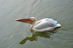 Pássaro branco Imagem de Stock Royalty Free