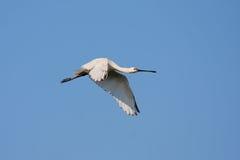 Pássaro branco Foto de Stock Royalty Free