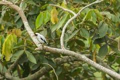 Pássaro branco com penas pretas foto de stock royalty free