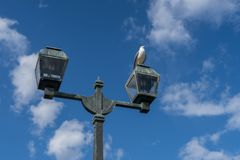 Pássaro branco da gaivota que chilra no polo claro imagem de stock royalty free