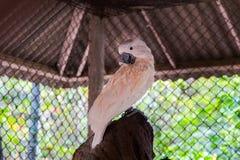 Pássaro branco na gaiola, papagaio branco da arara imagem de stock royalty free