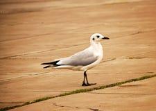 Pássaro branco no passeio Fotos de Stock