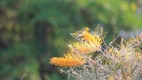 Pássaro branco oriental do olho que empoleira-se na árvore amarela da flor do gravillea para o néctar na estação de mola filme