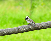 Pássaro branco pequeno do Wagtail que senta-se na vara Fotos de Stock
