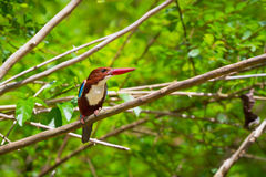 pássaro Branco-throated do martinho pescatore Imagens de Stock