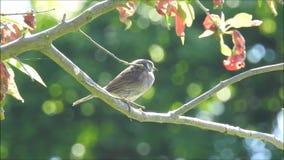Pássaro britânico do pardal do dunnock empoleirado no ramo de árvore video estoque