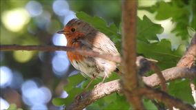 Pássaro britânico do pisco de peito vermelho que canta altamente acima na parte superior da árvore vídeos de arquivo