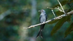 Pássaro bronzeado do drongo video estoque