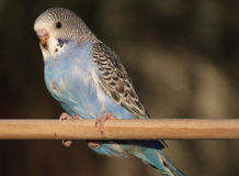 Pássaro - budgie Foto de Stock