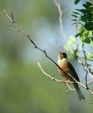 Pássaro cantado Fotografia de Stock Royalty Free