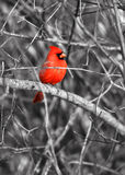 Pássaro cardinal Fotografia de Stock Royalty Free