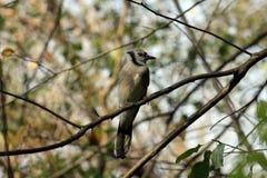 Pássaro cardinal Imagens de Stock