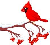 Pássaro cardinal bonito dos desenhos animados que levanta na árvore da baga Fotos de Stock Royalty Free