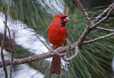 Pássaro cardinal do norte vermelho imagens de stock