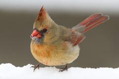 Pássaro cardinal fêmea vermelho que está na neve branca do inverno imagens de stock royalty free