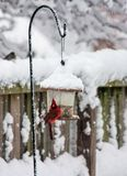 Pássaro cardinal masculino no alimentador do pássaro fotos de stock