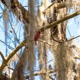 Pássaro cardinal, vermelho do norte Pássaros de Florida foto de stock