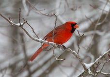 Pássaro cardinal vermelho no inverno imagem de stock royalty free