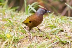 pássaro Castanha-coroado de Laughingthrush que anda na terra no franco Foto de Stock Royalty Free