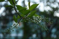 Pássaro Cherry Tree Flowers Budding Prunus Padus fotografia de stock royalty free