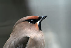 Pássaro cinzento Fotografia de Stock