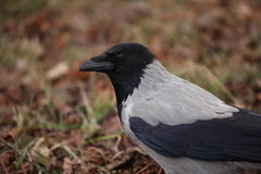 Pássaro cinzento e preto que olha ao redor fotografia de stock royalty free