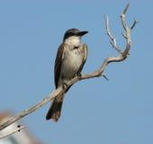 Pássaro cinzento na vara seca Foto de Stock Royalty Free