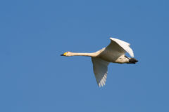 Pássaro - cisne de Whooper Fotografia de Stock Royalty Free