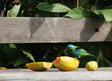 Pássaro colorido Imagem de Stock